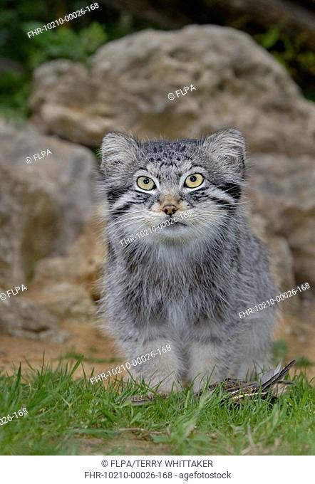 Pallas's Cat Felis manul adult sitting, summer coat