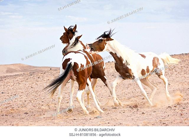 Pintabian. One mare biting another. Egypt