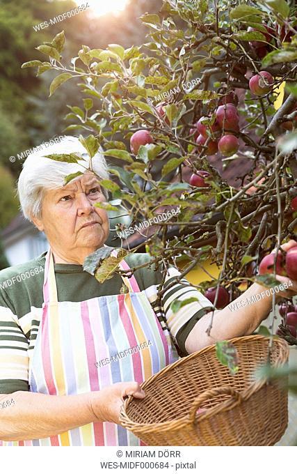 Senior woman picking apples