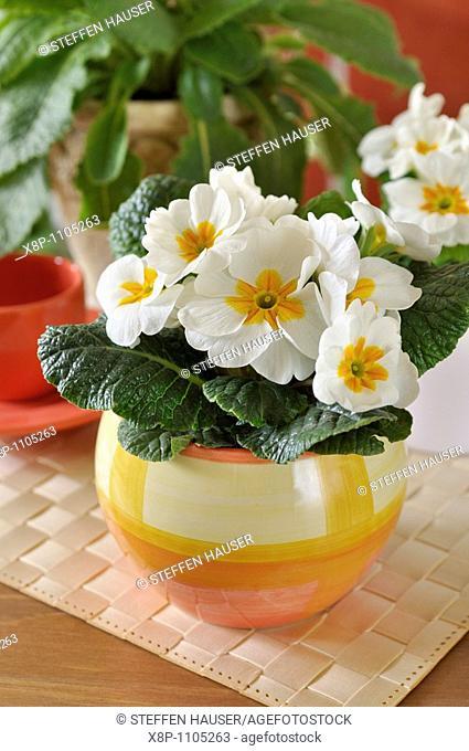 Primrose Primula vulgaris syn  Primula acaulis