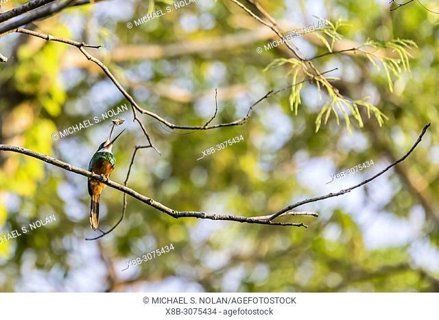 An adult male rufous-tailed jacamar, Galbula ruficauda, Pousado Rio Claro, Brazil