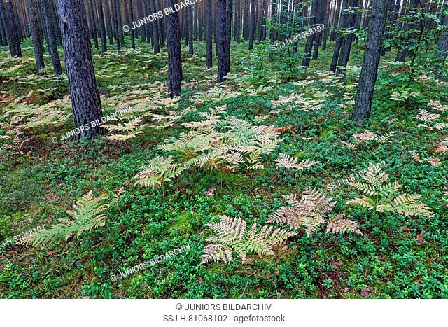Braken (Pteridium aquilinum) in a Pine forest in fall. Germany
