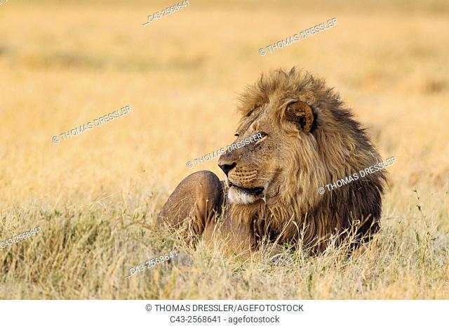 Lion (Panthera leo) - Resting male at dawn. Savuti, Chobe National Park, Botswana