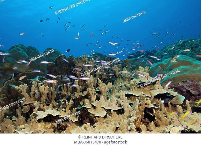 Whitleys Slender Basslet over Coral Reef, Luzonichthys whitleyi, Christmas Island, Australia