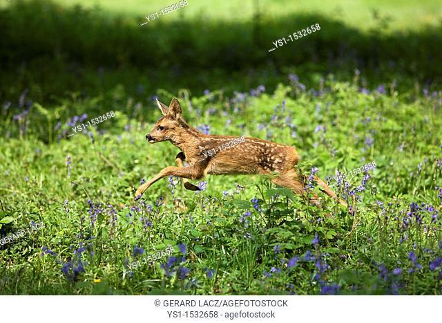 Roe Deer, capreolus capreolus, Foan Leaping through Flowers, Normandy