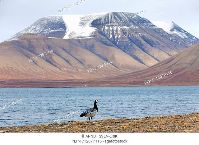 Barnacle goose (Branta leucopsis) along shore of Arctic fjord on Svalbard / Spitsbergen, Norway