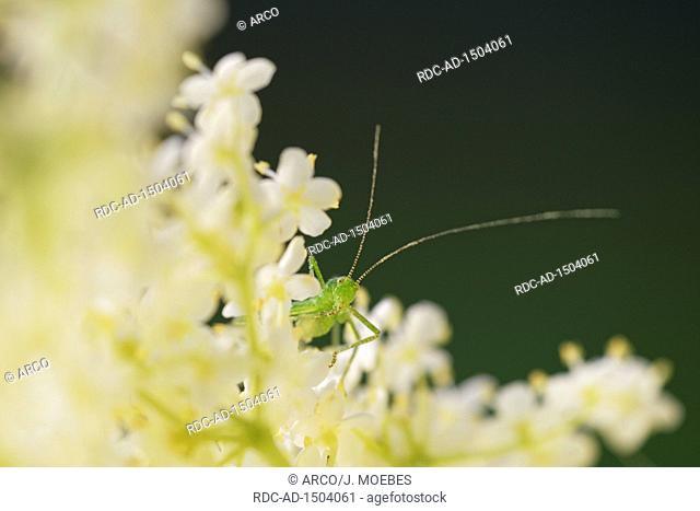 speckled bush cricket, Leptophyes punctatissima, on black elder, Sambucus nigra, Europe