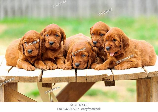 5aecf9f3e79 Irish setter puppies Stock Photos and Images | age fotostock
