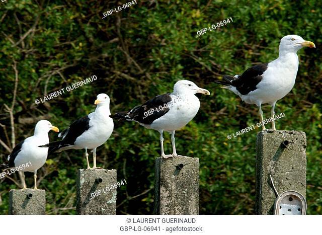 Bird, seagull, Ilha do Mel, Pontal do Sul, Paraná, Brazil