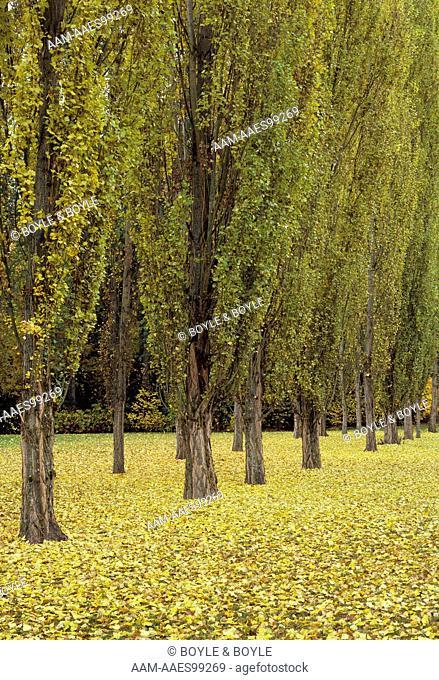 Lombardy or Black Poplar (Populus nigra) Marymoor Co. Prk./WA. autumn, fallen leaves on ground