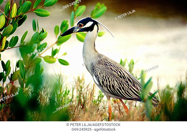 A yellow-crowned night heron (Nyctanassa violacea). Sanibel Island. Florida. U.S.A