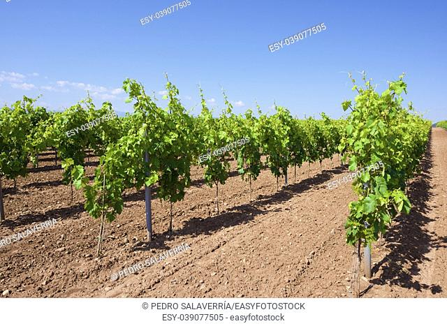 Vineyard in La Rioja, Spain