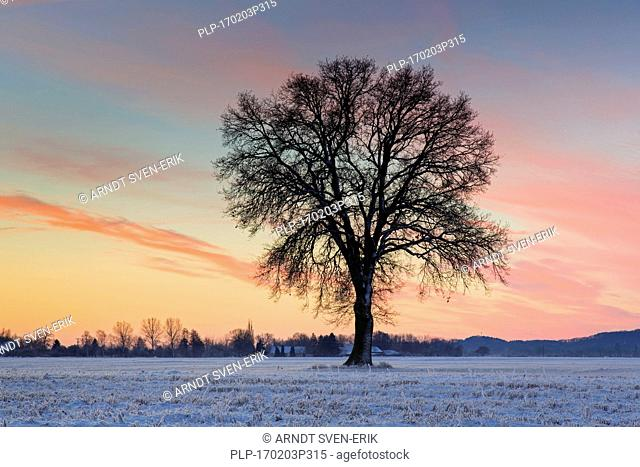 Solitary English oak / pedunculate oak tree (Quercus robur) in snow covered field at sunset in winter