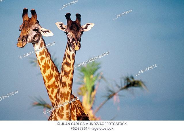 Giraffes (Giraffa camelopardalis). Tanzania