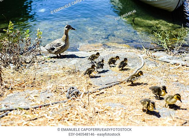 duck with little chicks looking for food around the harbor