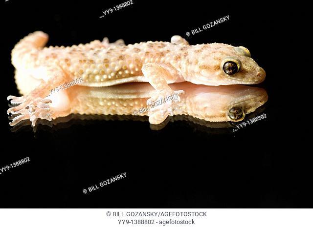 Close-up of Gecko - Los Novios Ranch - near Cotulla, Texas USA