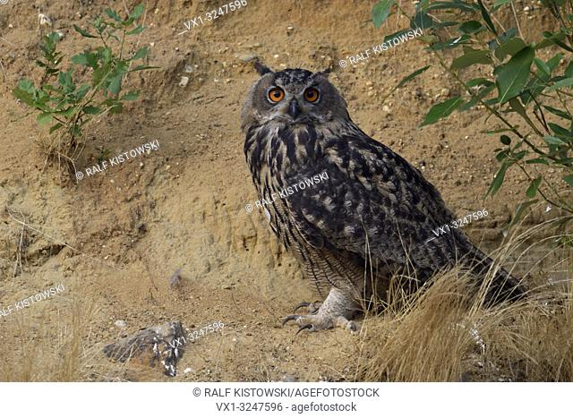 Eurasian Eagle Owl / Uhu ( Bubo bubo ), sitting, resting under a bush in the slope of a sand pit, looks attentively towards the photographer, wildlife, Europe