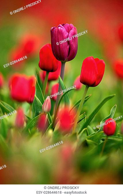 Violet tulip bloom, red beautiful tulips field in spring time