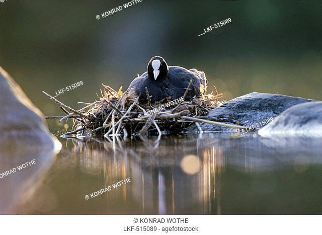 Coot on nest, Fulica atra, Bavaria, Germany