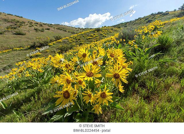Yellow flowers in rolling landscape