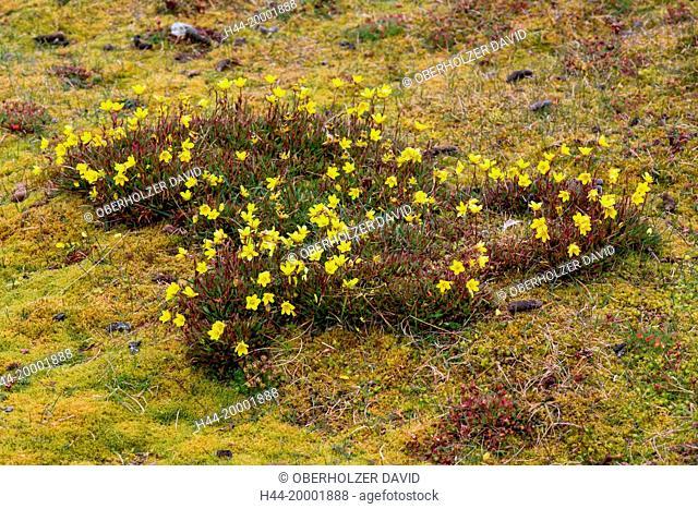 Spitsbergen, marsh saxifrage