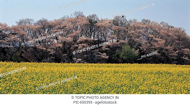 Cherry Blossom And Rape Flowers Field,Gyeongju,Gyeongbuk,Korea