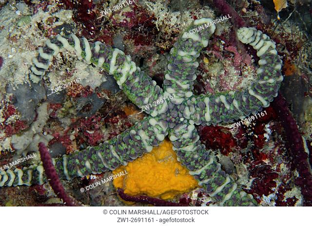 Warty Sea Star (Echinaster callosus), Night dive, Barracuda Rock dive site, Fiabacet Island, Misool, Raja Ampat (4 Kings), West Papua, Indonesia