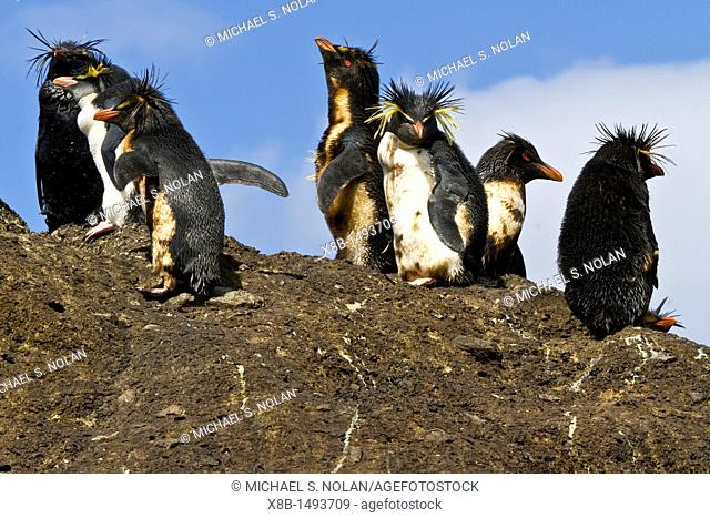 Northern rockhopper penguins Eudyptes moseleyi covered in spilled fuel oil from the wreck of the MS Oliva on Nightingale Island