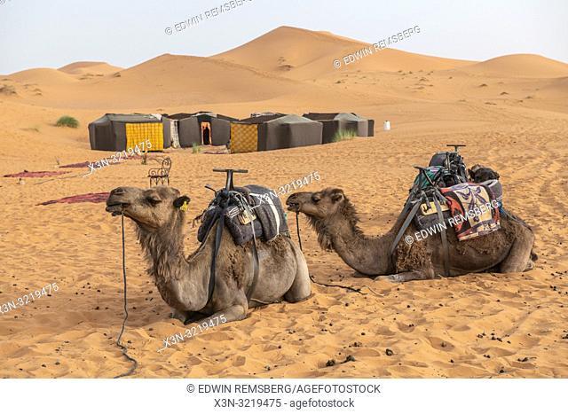 Two Resting Camels, Merzouga, Morocco. Sahara Desert - Erg Chabbi dunes
