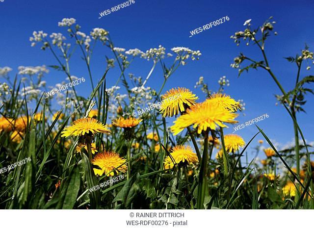 Dandelions Taraxacum abloom