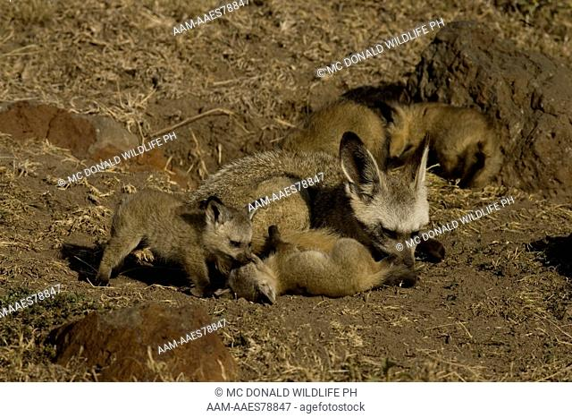 Bat-eared Fox Family (Otocyon megalotis) 11/30/2005, young playing with a tolerant adult at the den in the Masai Mara Game Reserve, Kenya