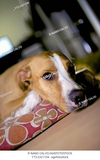 Interior portrait of mixed breed brown dog