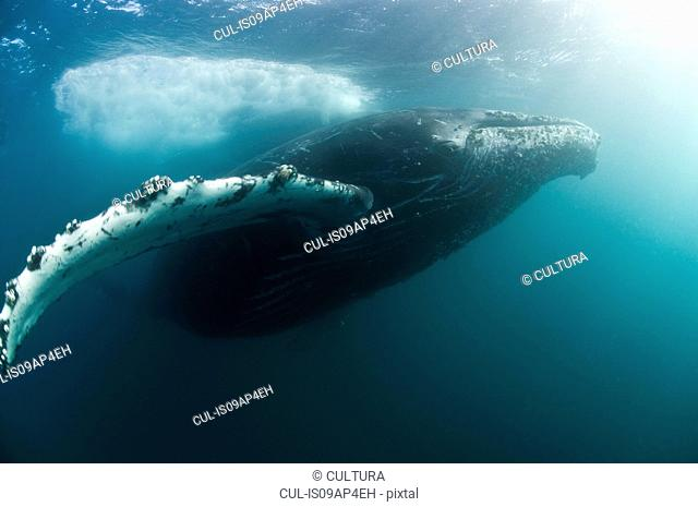 Humpback whales (Megaptera novaeangliae) migrate from the cold antarctic to the warm tropics every winter, Wild coast, South Africa