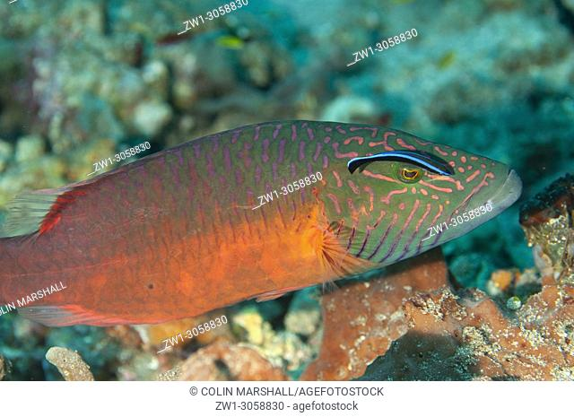 Linecheeked Wrasse (Oxycheilinus digramma, Labridae family) being cleaned by Bluestreak Cleaner Wrasse (Labroides dimidiatus), Pyramids dive site, Amed