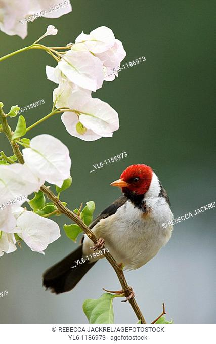North America, USA, Hawaii, Big Island  Non-native Yellow-billed Cardinal sitting on bougainvillea plant