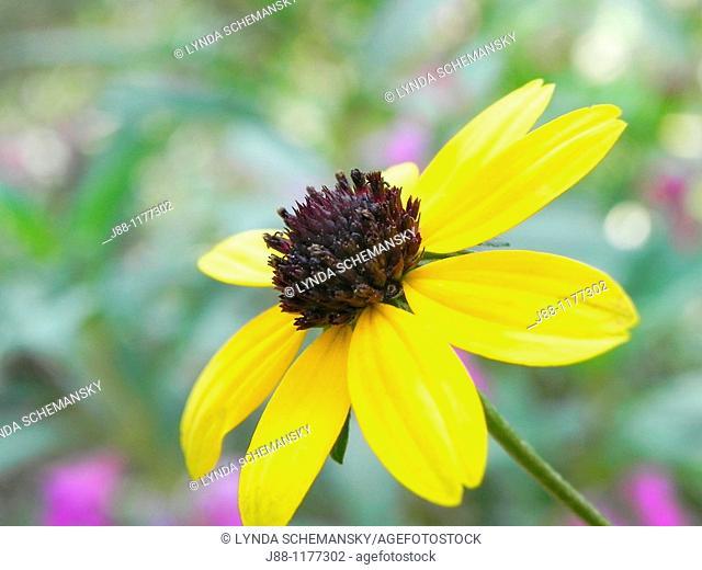 Black eyed Susan rudbeckia sp  flower