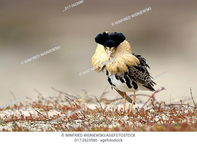 ruff at lek in nuptial plumage. Varanger Peninsula, Norway (Philomachus pugnax)