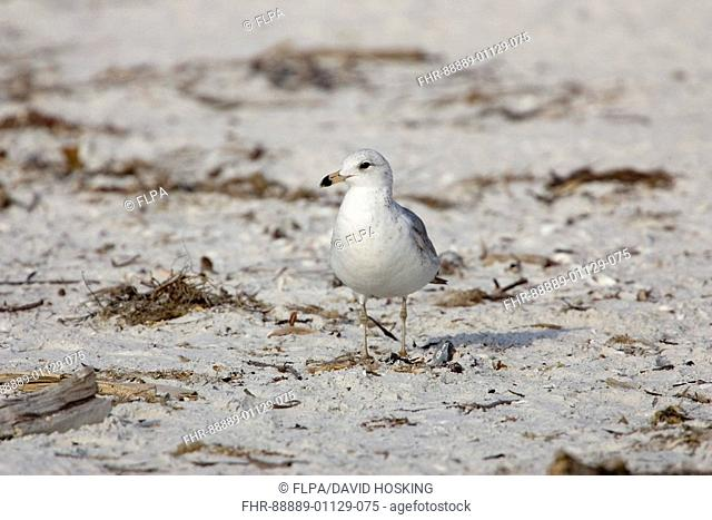 Ring billed Gull, Larus delawarensis,florida
