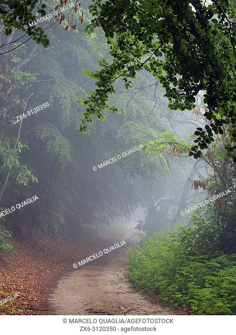 Misty beech forest (Fagus sylvatica) and dirt road at Coll Sobirana site. Spring time at Montseny Natural Park. Barcelona province, Catalonia, Spain