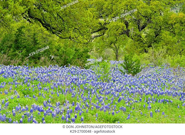 Flowering Texas bluebonnets and oak trees, Blanco County, Texas, USA