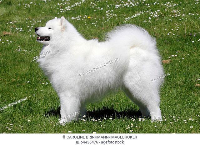 Samoyed, male dog, 6 years, North Rhine-Westphalia, Germany