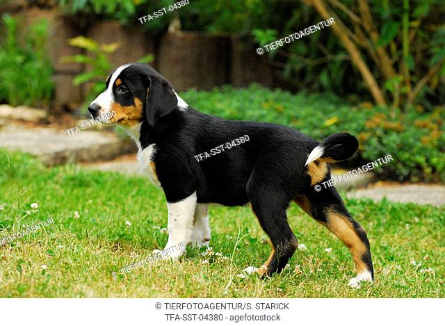 Appenzell Mountain Dog Puppy