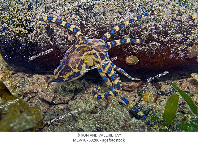 Southern Blue Ring Octopus (Hapalochlaena maculosa)