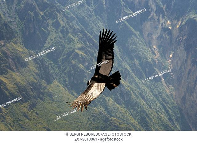 The Andean condor flying over the Colca Canyon on the Cruz del Cóndor at Colca Canyon, Peru
