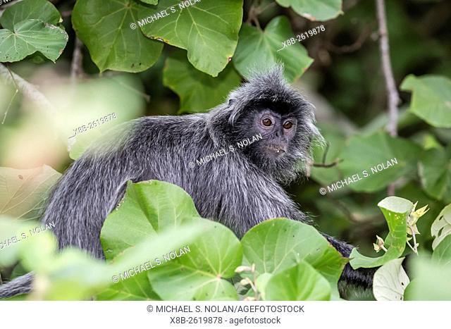 Adult silvery langur, Trachypithecus cristatus, silvered leaf monkey, Bako National Park, Borneo, Malaysia