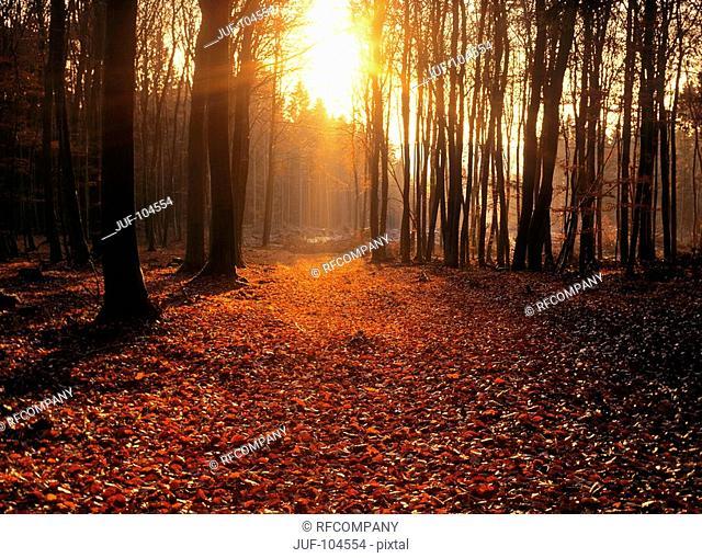 beech grove - autumn