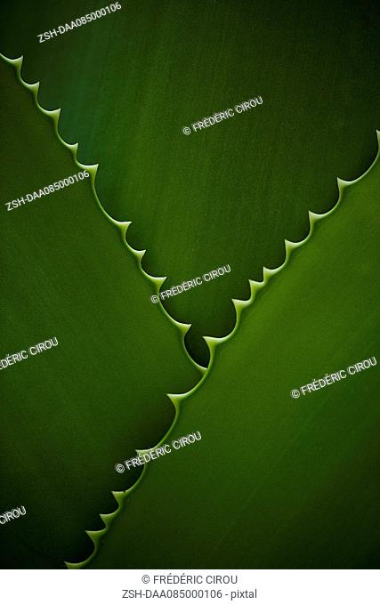 Leaves with serrated edges, full frame