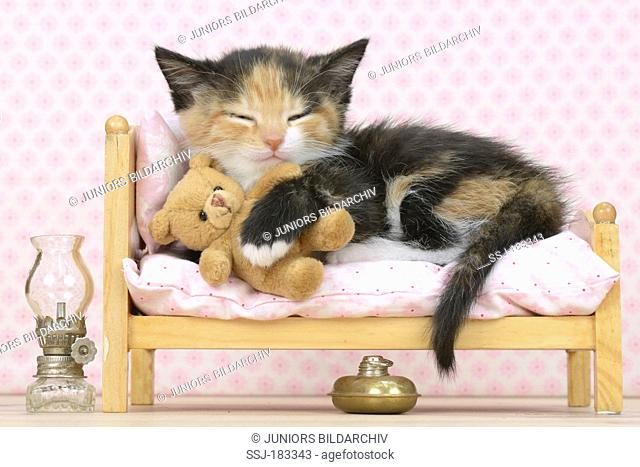 Domestic Cat. Tricoloured kitten (5 weeks old) with teddy bear sleeping on a dolls bed. Germany