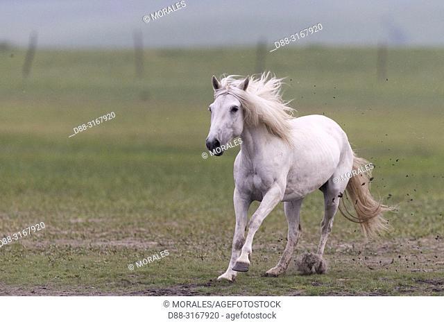 China, Inner Mongolia, Hebei Province, Zhangjiakou, Bashang Grassland, one horse, running in a prairie