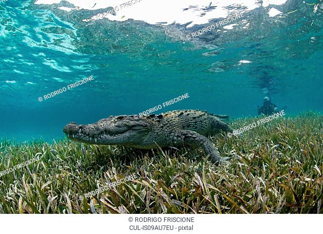 Underwater view of crocodile on seagrass in shallow water, Chinchorro Atoll, Quintana Roo, Mexico